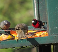 Buff-throated Saltators & Crimson-collared Tanager 3-20-2015